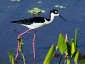 Black-necked Stilt Florida Wetlands