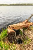 Tree trunk gnawed by beaver