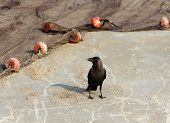 Indian House Crow (corvus Splendens) Near The Fishing Nets On The Beach Of Goa