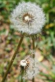 Two Seed Heads Of Taraxacum Blowballs Close Up