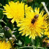 Bee Eating Nectar On Dandelion Flowe