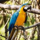 One Blue-and-yellow Macaw (ara Ararauna)