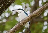 stock photo of lowlands  - Collared Kingfishers  - JPG