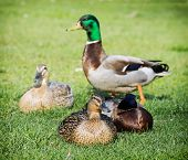 Group Of Mallard Ducks On The Green Lawn