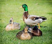 Group Of Mallard Ducks On The Green Lawn