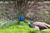 Peacock Couple (pavo Cristatus)
