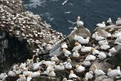 Lot's Of Nests!  Gannets In Cape St. Mary's
