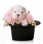 cute puppy - english bulldog puppy sitting in a black tophat