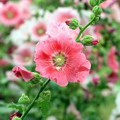 image of hollyhock  - the beautiful hollyhock flower in the garden - JPG