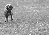german shorthaired pointer running in the grass