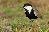 Spur-winged Lapwing (vanellus Spinosus) In A Grassy Field
