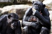 stock photo of chimp  - Two parent chimps and their baby - JPG