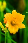 picture of asiatic lily  - An extremely bright - JPG