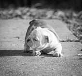 english bulldog puppy playing outside