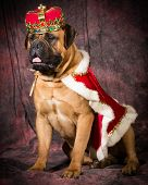 spoiled bullmastiff wearing king costume on purple background