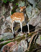 Young Fallow Deer Fawn Standing On Rocks