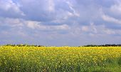 field of blooming yellow colza