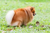 stock photo of defecate  - Pomeranian dog defecating on green grass in the garden - JPG
