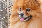 Close Up Of Pomeranian Dog Waiting For Owner To Come Home