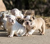 puppies playing - english bulldog litter outside