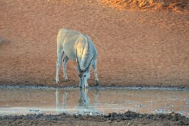 picture of eland  - Eland at the Haak - JPG