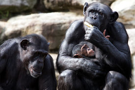 picture of chimp  - Two parent chimps and their baby - JPG