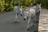 picture of wild donkey  - A herd of wild donkeys roam the island of St - JPG
