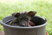Sick Dog In Bucket