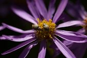 stock photo of aphid  - A flower with purple petals and aphids on the yellow center