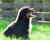 Bernese mountain dog in a field, outdoors