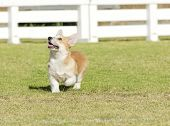 picture of corgi  - A young healthy beautiful red sable and white Welsh Corgi Pembroke puppy dog with a docked tail walking on the grass happily - JPG