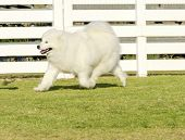 stock photo of wolf-dog  - A young beautiful white fluffy Samoyed puppy dog walking on the grass - JPG
