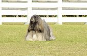 stock photo of long beard  - A small young light tan fawn beige gray and white Lhasa Apso dog with a long silky coat standing on the grass - JPG