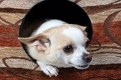 Photo of chihuahua in the doghouse