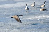 foto of snow goose  - Canada Goose Taking Off From Frozen Lake - JPG