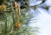 picture of pine-needle  - Coniferous branch - JPG