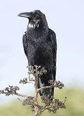 American Crow Or Black Bird On Tree, California