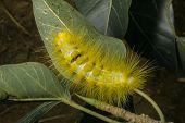 Hairy Caterpillars.