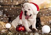 English bulldog and hat of Santa Claus