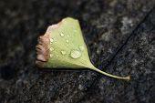water drops on fallen gingko leaf