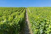 Vineyard In Sancerre