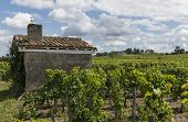 Vinyard At Saint Emilion With House