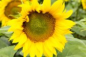 picture of sunflower  - Large happy sunflower and sunflower oil crop on a sunny day in the Tarn - JPG