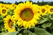 picture of sunflower  - Large happy sunflower and sunflower oil crop on a sunny day in the South of France with a blue sky behind - JPG