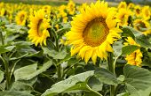 pic of sunflower  - Large happy sunflower and sunflower oil crop on a sunny day in the Tarn-et-Garonne region of the South of France. ** Note: Shallow depth of field - JPG