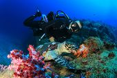 stock photo of sea-turtles  - Hawksbill Sea Turtle and Scuba Diver - JPG