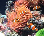 pic of clown fish  - Sea anemone and clown fish in marine aquarium - JPG