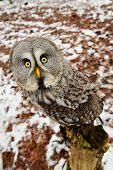 stock photo of northern hemisphere  - Curious Great grey owl in the winter forest - JPG