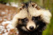 picture of raccoon  - Raccoon dog cute close - JPG