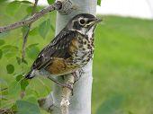bird in aspen tree